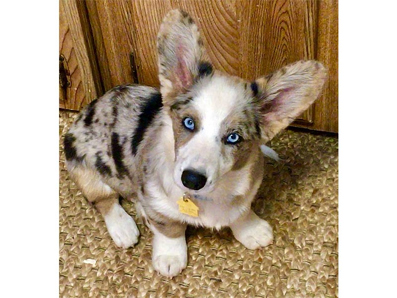 Leave It To Beezer Is Officially Registered - Pedigreed Cardigan Welsh Corgi